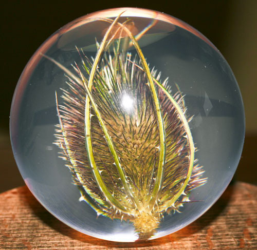 Paperweight Teasel