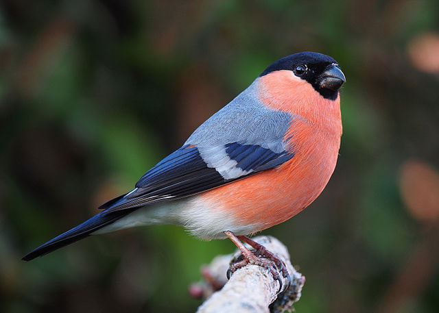 640px-Bullfinch_male