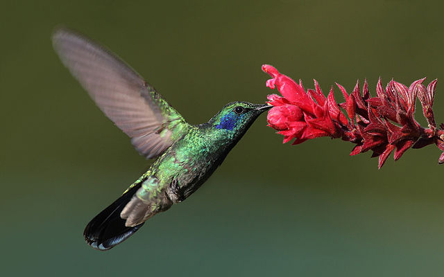 640px-Colibri-thalassinus-001-edit