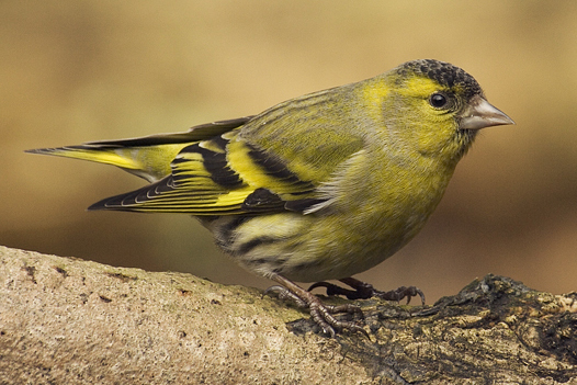 Carduelis_spinus_male