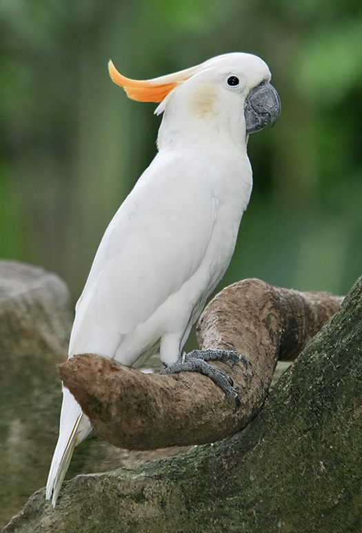 Citron-crested_Cockatoo